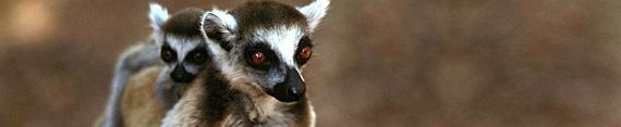 Madagaskar, Ringstaartlemuren